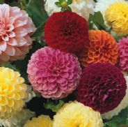 Dahlia Pompone Doubles mixed - 30 seeds / 120 seeds